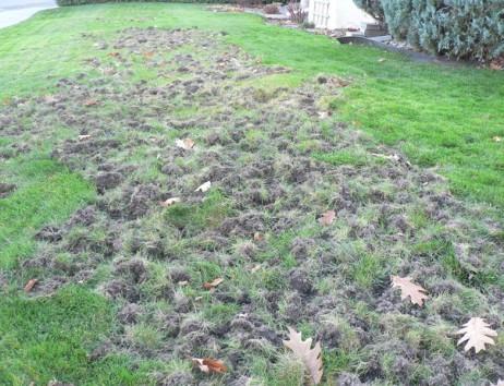 Contrôle des insectes de pelouse